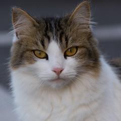 Just a cat (bertrandwaridel) Tags: summer cat switzerland suisse parking august vaud 2014 echallens longhairedcat balancel