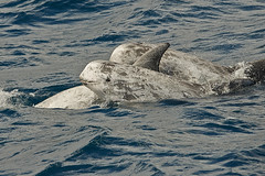 Risso's dolphins (grampus griseus) (pierre_et_nelly) Tags: portugal dolphin pico delfin dauphin risso azores delfino golfinho rissosdolphin grampusgriseus golfinhoderisso dauphinderisso rundkopfdelfin delfinodirisso calderóngris delfíngris capdollagris grampodirisso rissodelfin