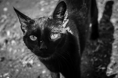 NegroGato (Andrs Laes) Tags: pet black cat negro mascota