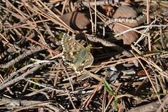 Carcharodus ? (esta_ahi) Tags: barcelona espaa insectos fauna butterfly spain lepidoptera mariposa peneds papallona hesperiidae pyrginae ordal  crestabocs