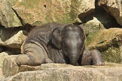 1.Radza Junior, 12 wks.old (K.Verhulst) Tags: elephant emmen noorderdierenpark olifanten dierentuinemmen aziatischeolifant asiaticelephants aziatischeolifanten radzajunior