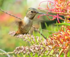 Hummer visits the Grevillea West LA_8213 (pekabo90401) Tags: hummingbird birdwatching grevillea allenshummingbird southerncaliforniabirds canonsx50 birdwatchinglosangeles pekabo90401