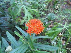 20140830_Canon_SX50_0079 (rlg) Tags: plant flower 30 weed saturday august nm 2014 butterflyweed fpr 0830 201408 canonsx50 cr2jpg 20140830 08302014