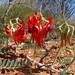 Fabaceae Faboideae>Swainsona formosa Sturt's Desert Pea DSCF3192