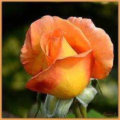 Saving the Best for Last (Eleanor (No multiple invites please)) Tags: uk orange flower rose garden 18200 stanmore nikond3200 queensbury september2014