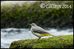 Grey-Wagtail-6672 (David E Cassells) Tags: