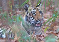 Bengal Tiger cub, Kanha Tiger Reserve, India (cirdantravels) Tags: india bengaltiger madhyapradesh pantheratigris kanhatigerreserve kanhanationalpark bengaalsetijger