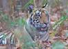 Bengal Tiger cub, Kanha Tiger Reserve, India (cirdantravels (Fons Buts)) Tags: india bengaltiger madhyapradesh pantheratigris kanhatigerreserve kanhanationalpark bengaalsetijger