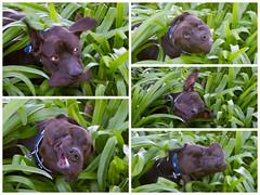 Blaze having a shake (Shutter Paws Perth) Tags: dog puppy puppies animalrescue cutedog funnydog jowls fastshutter cutepuppy rescuedog dogshake freezemotion americanstaffordshire dogshaking rescuepuppy humorousdog puppyshaking