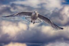 Flying High (IanDMcGregor) Tags: sky canada bird animal clouds photography flying nikon seagull gull flight regina saskatchewan avian d800 canadianphotographer ianmcgregor ianmcgregorphotographycom
