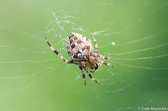 Garden spider, Araneus diadematus (Dale Reynolds) Tags: spider suffolk september araneusdiadematus 2014 cavenhamheath