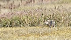 Ready to Run (PhotoGizmo) Tags: coyote sealbertatour