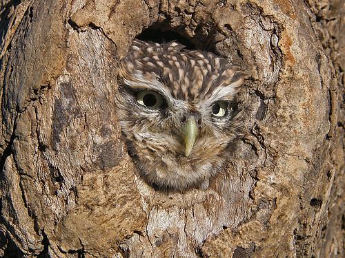 1st Little Owl_37_JA med