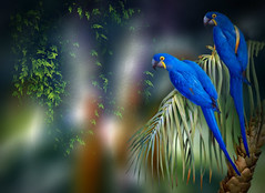 Blue Macaws (maom_1 (Off, most of the time)) Tags: digitalpainting digitalcollage