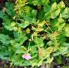 Bloody Cranesbill, Geranium sanguineium (1) (Ben Grader) Tags: plant flower holland closeup leaf stem weed view blossom sony picture bloom links tamron stalk bloodycranesbill dioptre slta77 seedscene geraniumsanguineium
