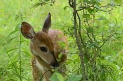 DSC_1643 (Fransois) Tags: deer fawn qubec chevreuil faon cerfdevirginie chteauguay ilesaintbernard