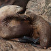 Steller's Sea Lion female with pup