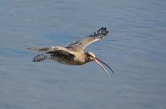 Curlew In Flight. (stonefaction) Tags: nature birds scotland fife wildlife estuary eden curlew guardbridge explored