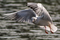 Gull in Flight (jasonmgabriel) Tags: bird water wildlife seagull gull flight