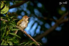 Common Tailorbird (Irtiza Bukhari) Tags: wild wallpaper bird nature beauty canon one ngc jungle dslr wwf bukhari natgeo tailorbird irtiza