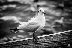 Pigeon - Barcelona haven (KromOner) Tags: barcelona urban white haven black art animals design pigeon style minimal kromoner