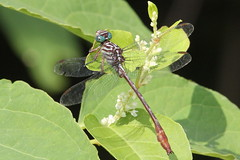 Russet-tipped Clubtail at Palmyra Cove [Explore 12] (Tombo Pixels) Tags: newjersey dragonfly nj clubtail palmyracove russettippedclubtail stylurusplagiatus twb1 russettipped palmyra140090