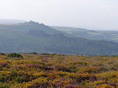 P1010359 (jrcollman) Tags: plants places devon dartmoor houndtor ulexgallii eplant ericacinerea haytortohoundtor