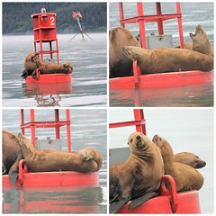 Juneau AK ~ Sea Lions (karma (Karen)) Tags: juneau alaska aukebay sealions buoys collages picmonkey topf25 mmm cmwd