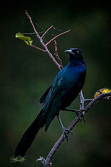 Male Boat-tailed Grackle (cd32919) Tags: fish wildlife animal crow nature bird wild beak black plumage outdoor ornithology intelligent feathers habitat feathered outdoors perched sunny trees branch feather natural avian