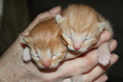 270/365/3192 (March 8, 2017) - It's Kitten Season! Cats and Kittens at Crafty Cat Rescue (Ann Arbor, Michigan) - Wednesday March 8, 2017 (cseeman) Tags: cats pets craftycatrescue annarbor michigan shelter adoption catshelter catrescue caring animals craftycatphotos03082017 kittens 2017project365coreys yearnineproject365coreys project365 p365cs032017 356project2017