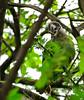 Brown-headed Parrot (Poicephalus cryptoxanthus) eating small fruit ... (berniedup) Tags: lowersabie kruger brownheadedparrot poicephaluscryptoxanthus bird parrot taxonomy:binomial=poicephaluscryptoxanthus