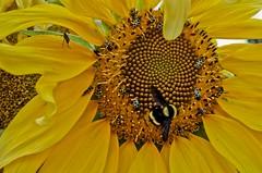 Mamangava 03 (Parchen) Tags: mangangá mamangaba mamangava mangava mangangava matacavalo abugão bombus inseto abelhasolitária bombusspp nomecientífico polinizador polinizadora polinizando foto fotografia imagem registro parchen carlosparchen