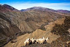 Mountain Sheeps (Cornelli2010) Tags: canonef2470mm128l canoneos5dmarkiii animals berge highlands landscape landschaft marokko morocco mountains natur nature schafe sheep