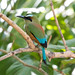 Turquoise-browed Motmot [15/100]