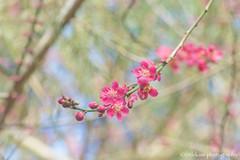 Japanese Apricot (littlekiss☆) Tags: japaneseapricot flower spring vancouver vandusenbotanicalgardenlittlekissphotography