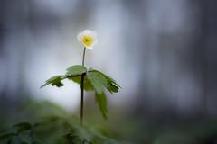 En attendant la lumière (Fabien Husslein) Tags: nemorosa anemone sylvie bokeh art nature bois wood forest foret letzebuerg luxembourg luxemburg light lumiere printemps spring