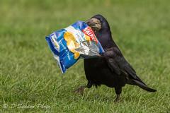 Nicked a bag of crisps and ran off..... (Osdog LRPS CPAGB) Tags: bird rook natue wildlife crisps walkerscrisps fun thief runningaway