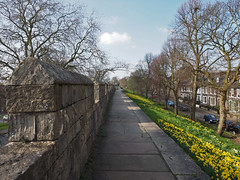 along the walls (Johnson Cameraface) Tags: 2017 march spring olympus omde1 em1 micro43 mzuiko 1240mm f28 johnsoncameraface urban yorkshire york trees walls yorkwalls daffodils walk