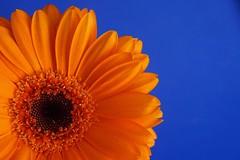 Orange and Blue - HMM (tanyalinskey) Tags: vibrant bright 7dwf macro gerbera flower blue orange hmm macromondays orangeandblue sunflower