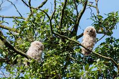 Twin Tawnies (1 of 1) (g8196895) Tags: tawnyowl babies twins bird nature wildlife landscape trees