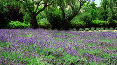 Lavender Field (BudCat14/Ross) Tags: nature flowers lavender solvang california
