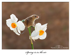 Spring is in the air.... (deanmasonwp) Tags: dean mason windows wildlife animal mammal harvest mouse mice rodent narcissus daffodil side lit sun