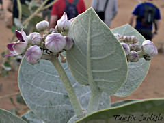 Sodom's Apple Milkweed with Ants (tinlight7) Tags: milkweed sodomsapple giantmilkweed plant leaves flowers desert sharjah uae ants insects taxonomy:kingdom=plantae plantae taxonomy:clade=tracheophyta tracheophyta taxonomy:phylum=magnoliophyta magnoliophyta taxonomy:class=magnoliopsida magnoliopsida taxonomy:order=gentianales gentianales taxonomy:family=apocynaceae apocynaceae taxonomy:subfamily=asclepiadoideae asclepiadoideae taxonomy:genus=calotropis calotropis taxonomy:species=procera taxonomy:binomial=calotropisprocera calotropisprocera appleofsodom פתילתהמדברהגדולהתפוחסדום roostertree bombardeira algodoeirodeseda rosaseda taxonomy:common=giantmilkweed taxonomy:common=appleofsodom taxonomy:common=פתילתהמדברהגדולהתפוחסדום taxonomy:common=roostertree taxonomy:common=bombardeira taxonomy:common=algodoeirodeseda taxonomy:common=rosaseda