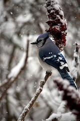 Blue Jay on Sumac (Salamanderdance) Tags: blue jay bird animal corvus sumac winer snow winter