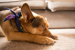 Sun-kissed Nigel (dtman04) Tags: dog cute adorable sleeping sun indoor basking sunbathing hiding under tables bandana scarf bandanas scarves paws resting couch carpet candid wildlife nikon d7100 closeup living room livingroom restful peaceful napping