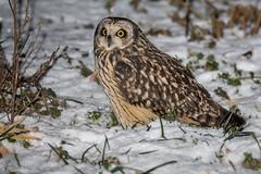 Hibou des marais (DorianHunt) Tags: birds bokeh birdsofprey snow switzerland 2017 shortearedowl sigma nikond500 150600mm january