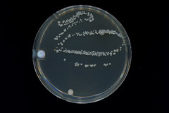 Bellybutton Swab (avtencza) Tags: microbiology mold petri dish agar science nature