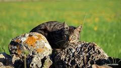 Rocky Cat (Frank Abbate) Tags: cat gatto country campagna pietre stones muro wall murettoasecco canon eos 80d