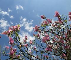 Magnolia (Eli.b.) Tags: fioritura rami cielo fiore albero tree primavera magnolia nuvole ciel sky