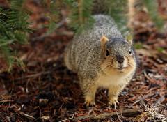 Squirrel, Morton Arboretum. 396 (EOS) (Mega-Magpie) Tags: canon eos 60d nature wildlife squirrel outdoors cute the morton arboretum lisle il dupage illinois usa america